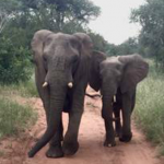 Elephants seen up close on Incentive Trip Safari Tour