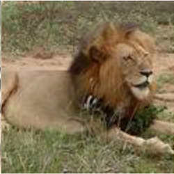 Incentive Trip African Safari Lion