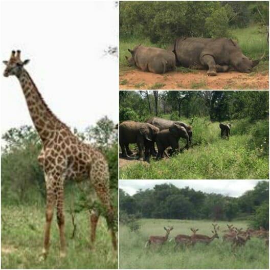 safari, animals, sabi sand